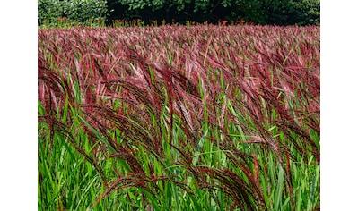 BCM Gräser »Chinaschilf sinensis 'China'«, (Spar-Set), Lieferhöhe ca. 60 cm, 1 Pflanze kaufen