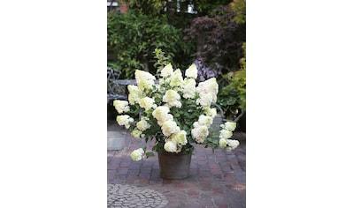 BCM Gehölze »Hortensie Sundae Fraise«, Höhe: 50-60 cm, 1 Pflanze kaufen