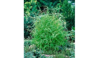 BCM Hecken »Fresh Green Bambus« kaufen