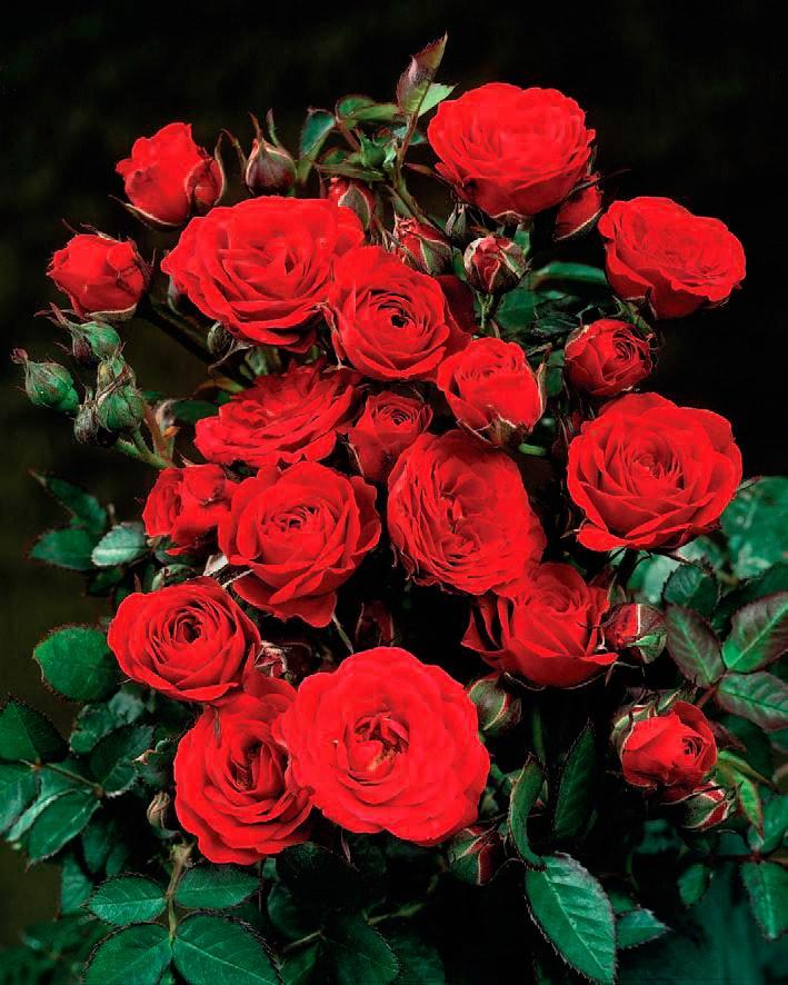 BCM Beetpflanze Rose Europeana rot Beetpflanzen Pflanzen Garten Balkon