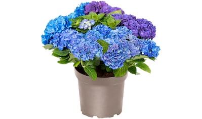 BCM Hortensie »Three Sisters Blue, Violett, White«, Höhe: 30 - 40 cm, 1 Pflanze kaufen