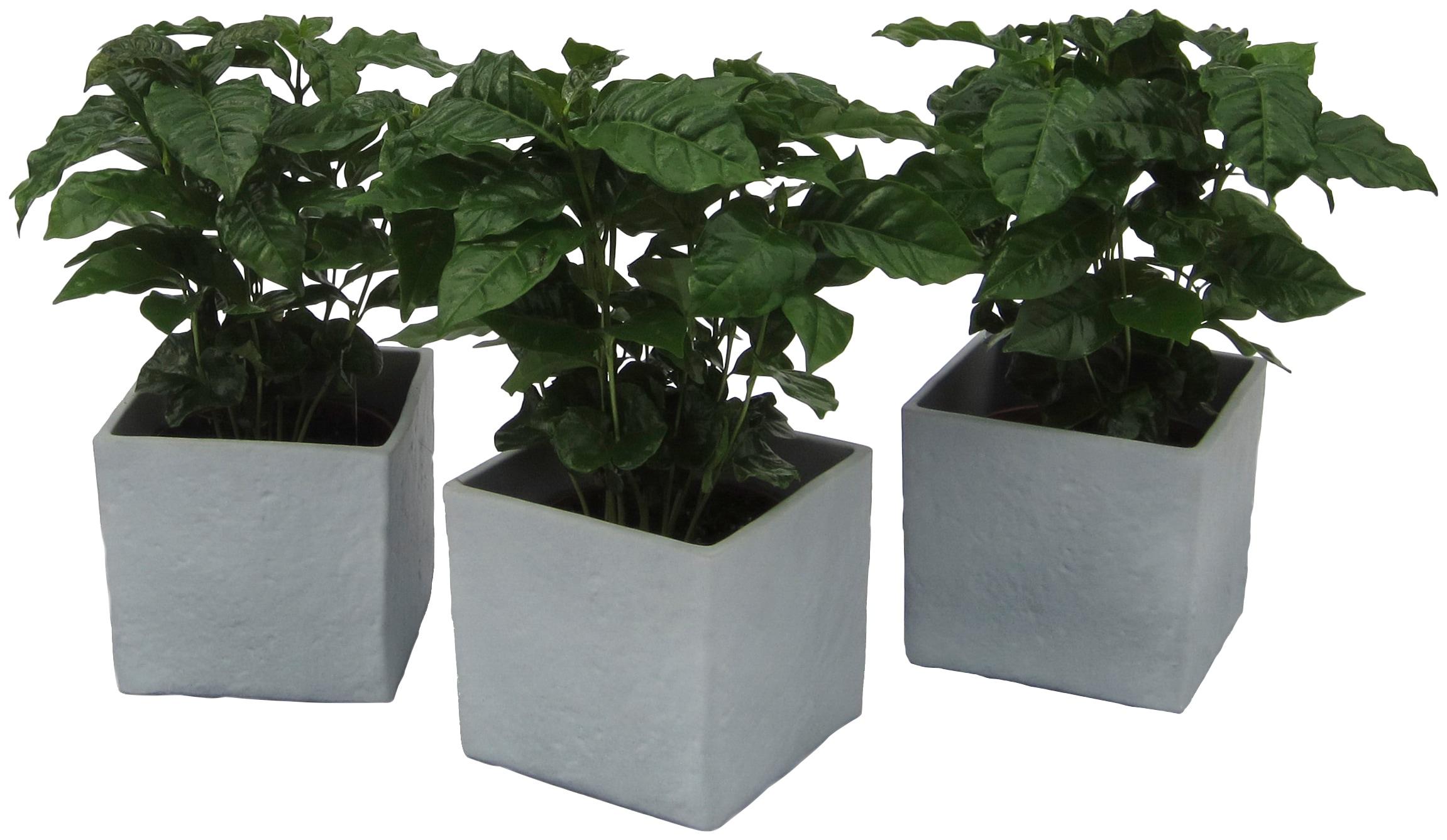 Dominik Zimmerpflanze Kaffee-Pflanzen, Höhe: 30 cm, 3 Pflanzen in Dekotöpfen grün Garten Balkon