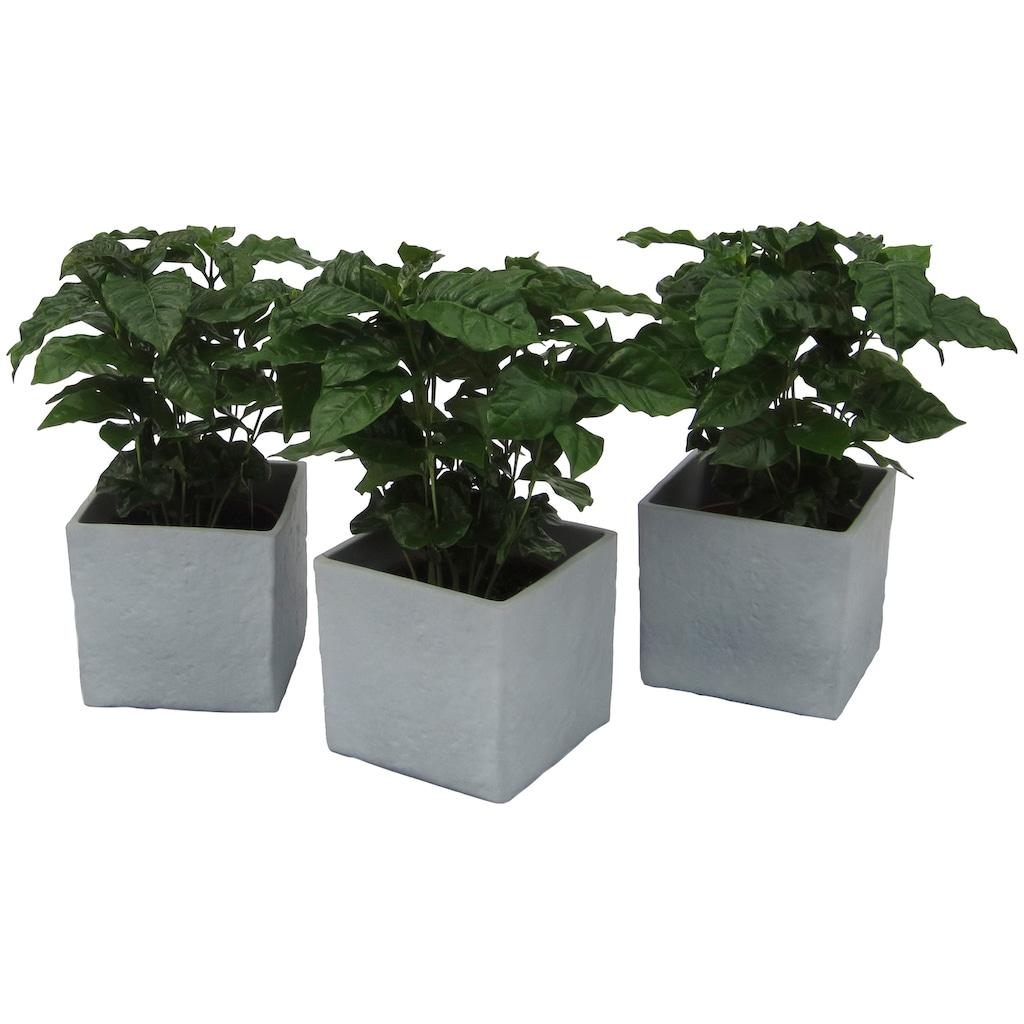 Dominik Zimmerpflanze »Kaffee-Pflanzen«, Höhe: 30 cm, 3 Pflanzen in Dekotöpfen