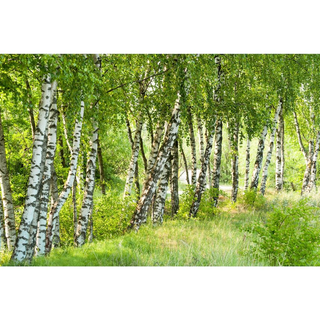 Papermoon Fototapete »Birch Tree Forest«