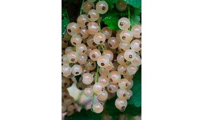 BCM Obstpflanze »Johannisbeere Blanka«, Höhe: 30-40 cm, 1 Pflanze kaufen