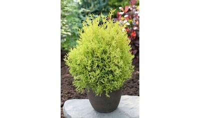Hecke »Lebensbaum Rheingold«, Höhe: 15 - 20 cm, 6 Pflanzen kaufen
