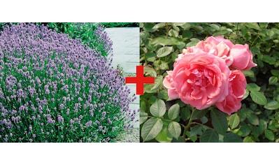 Set: Beetrose »Rose Kimono & Lavendel« kaufen
