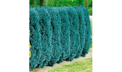 BCM Hecken »Blaue Scheinzypresse«, 4 Pflanzen kaufen