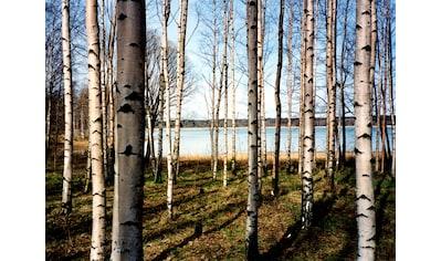 Papermoon Fototapete »Finnish Forest of Birch Trees« kaufen