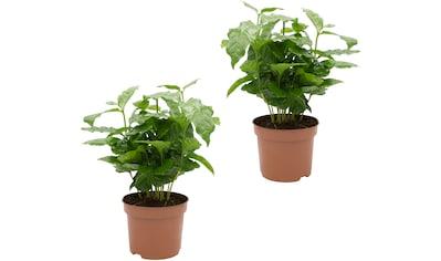 Dominik Zimmerpflanze »Kaffee-Pflanzen«, Höhe: 15 cm, 2 Pflanzen kaufen