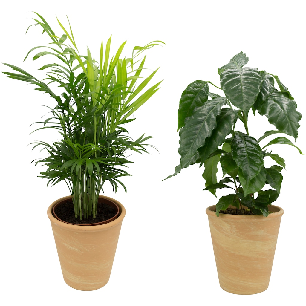Dominik Zimmerpflanze »Palmen-Set«, Höhe: 15 cm, 2 Pflanzen in Dekotöpfen