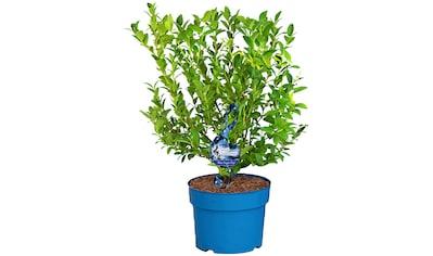 BCM Obstpflanze »Heidelbeere 'Blue Sugar Pop'«, (Spar-Set), Lieferhöhe: ca. 80 cm, 2... kaufen