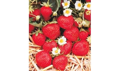 BCM Obstpflanze »Erdbeere Korona« kaufen