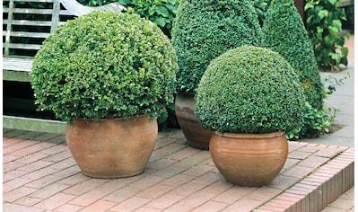 Gehölz »Buchsbaum Kugel« kaufen