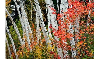 Papermoon Fototapete »Herbst Birkenwald«, Vliestapete, hochwertiger Digitaldruck kaufen
