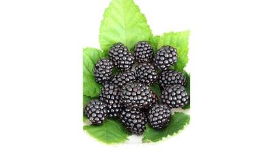 BCM Obstpflanze »Brombeere Reuben«, Höhe: 30-40 cm, 1 Pflanze kaufen