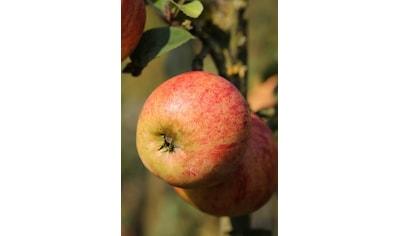 BCM Apfelbaum »Gravenstein«, 100 cm Lieferhöhe kaufen