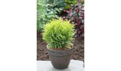 Hecke »Lebensbaum Danica«, Höhe: 20 - 30 cm, 9 Pflanzen kaufen