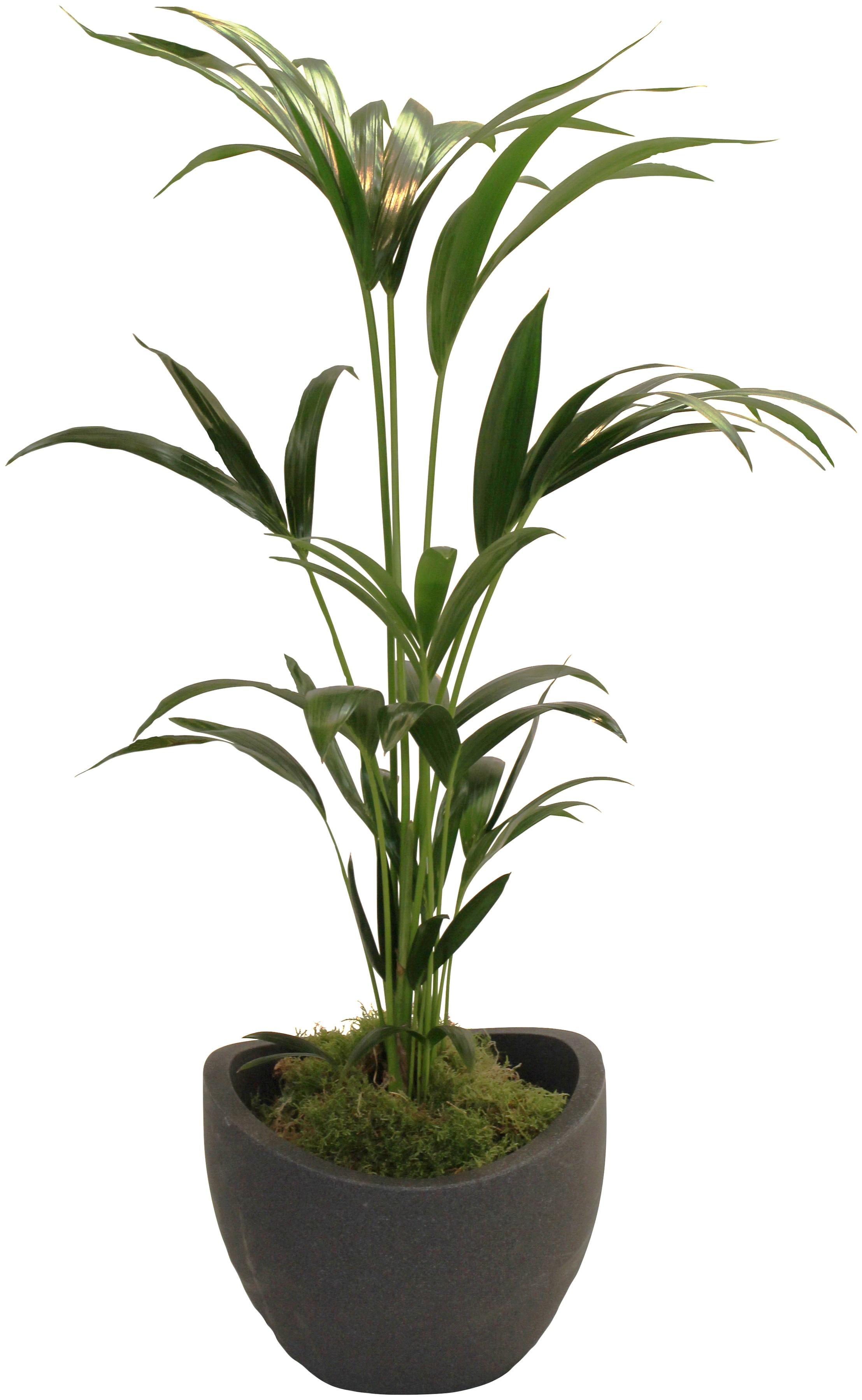 DOMINIK Zimmerpflanze »Kentia-Palme«, Höhe: 60 cm, 1 Pflanze im Dekotopf  günstig | BAUR