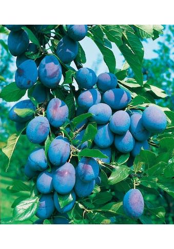 BCM Pflaumenbaum kaufen