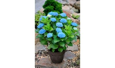 BCM Gehölze »Hortensie Magical Revolution Blue«, Höhe: 30-40 cm, 2 Pflanze kaufen