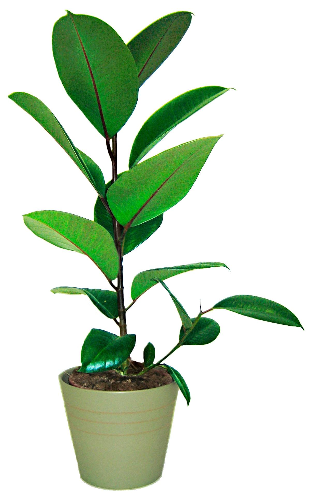 BCM Zimmerpflanze Gummibaum grün Zimmerpflanzen Pflanzen Garten Balkon