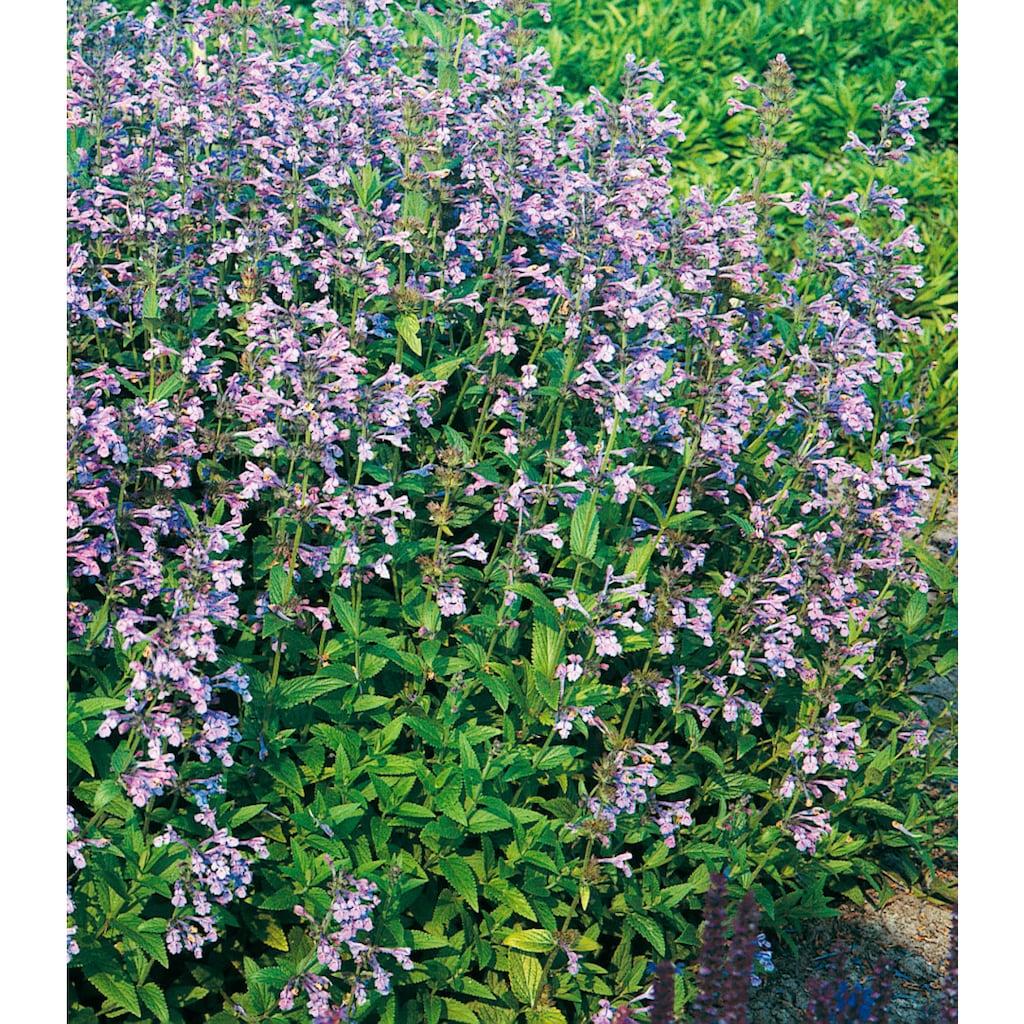 Set: Wasserpflanze »Lobelie« (3 Pfl.)