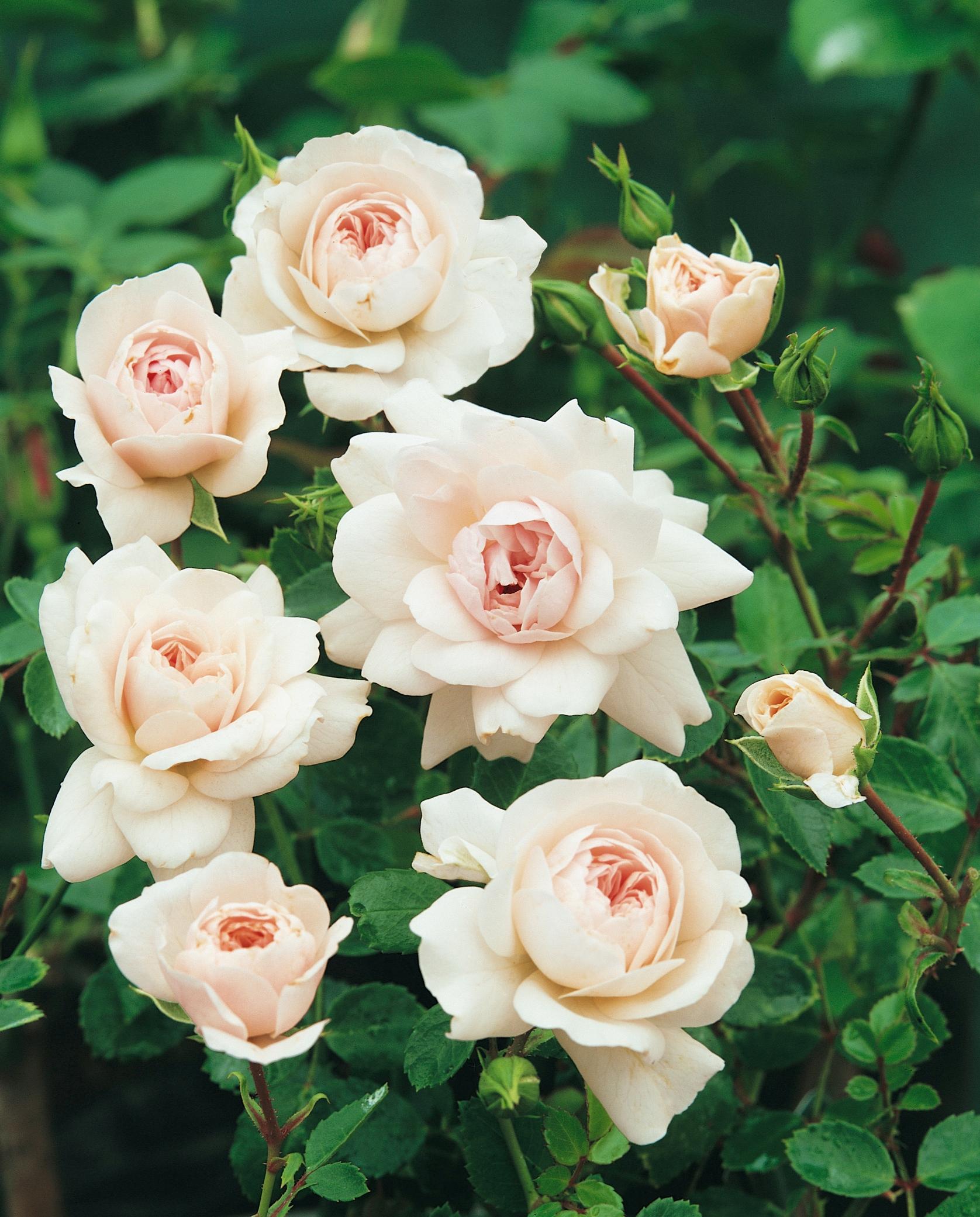 BCM Beetpflanze Sea Foam rosa Beetpflanzen Pflanzen Garten Balkon