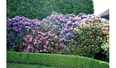 BCM Hecken »Rhododendron Catawbiense Grandiflorum«, 2 Pflanzen kaufen