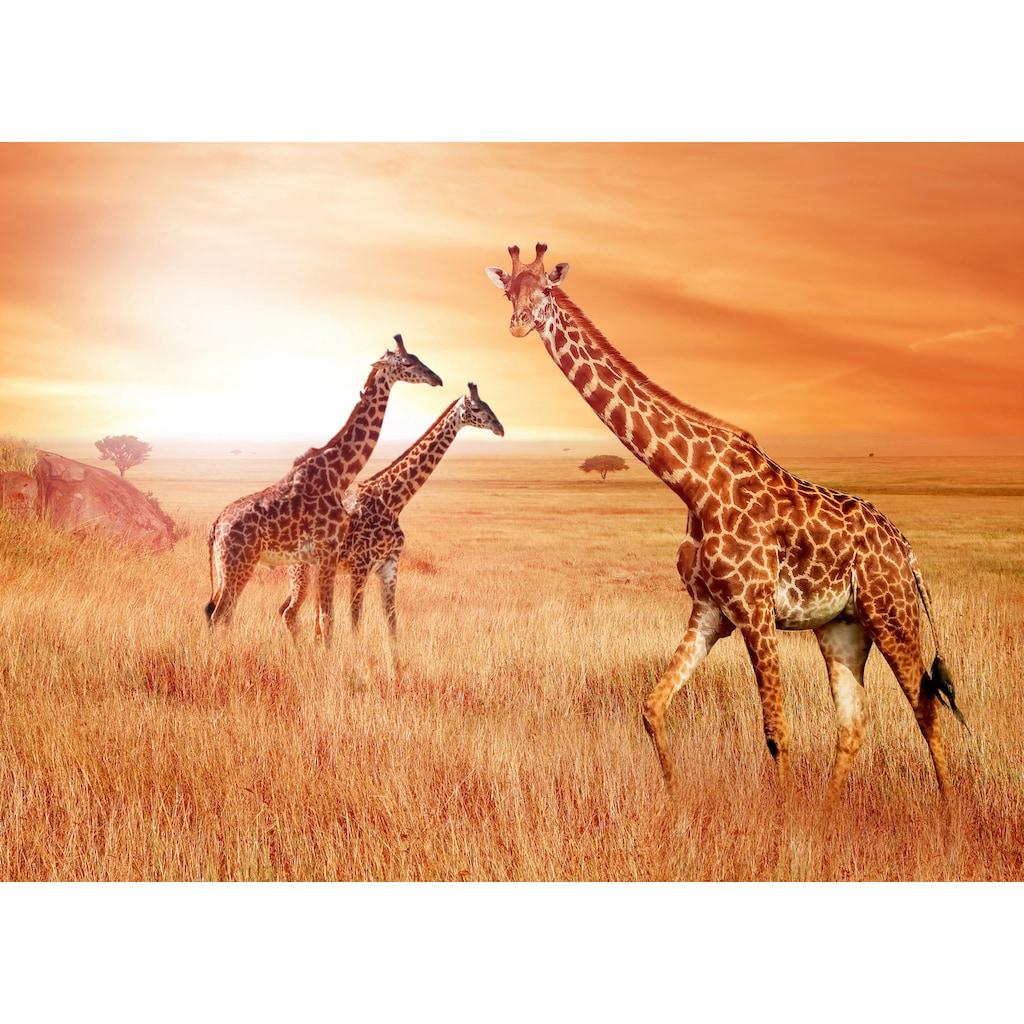 Papermoon Fototapete »African Giraffes«