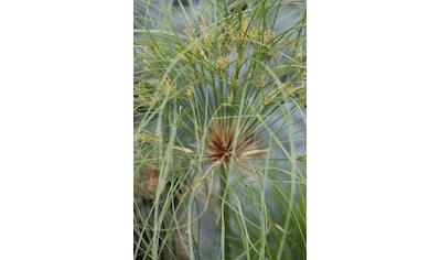BCM Gräser »Papyrus 'Nofretete'«, (Spar-Set), Lieferhöhe ca. 40 cm, 1 Pflanze kaufen