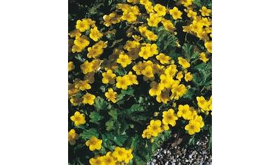 BCM Beetpflanze »Bodendecker Dreiblatt Golderdbeere« kaufen