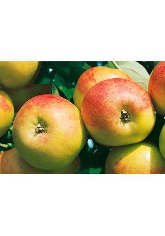 BCM Apfelbaum »Cox orange«, 100 cm Lieferhöhe kaufen