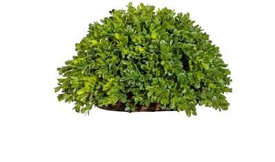 Creativ green Kunstpflanze »Buchsbaum Halbkugel« kaufen