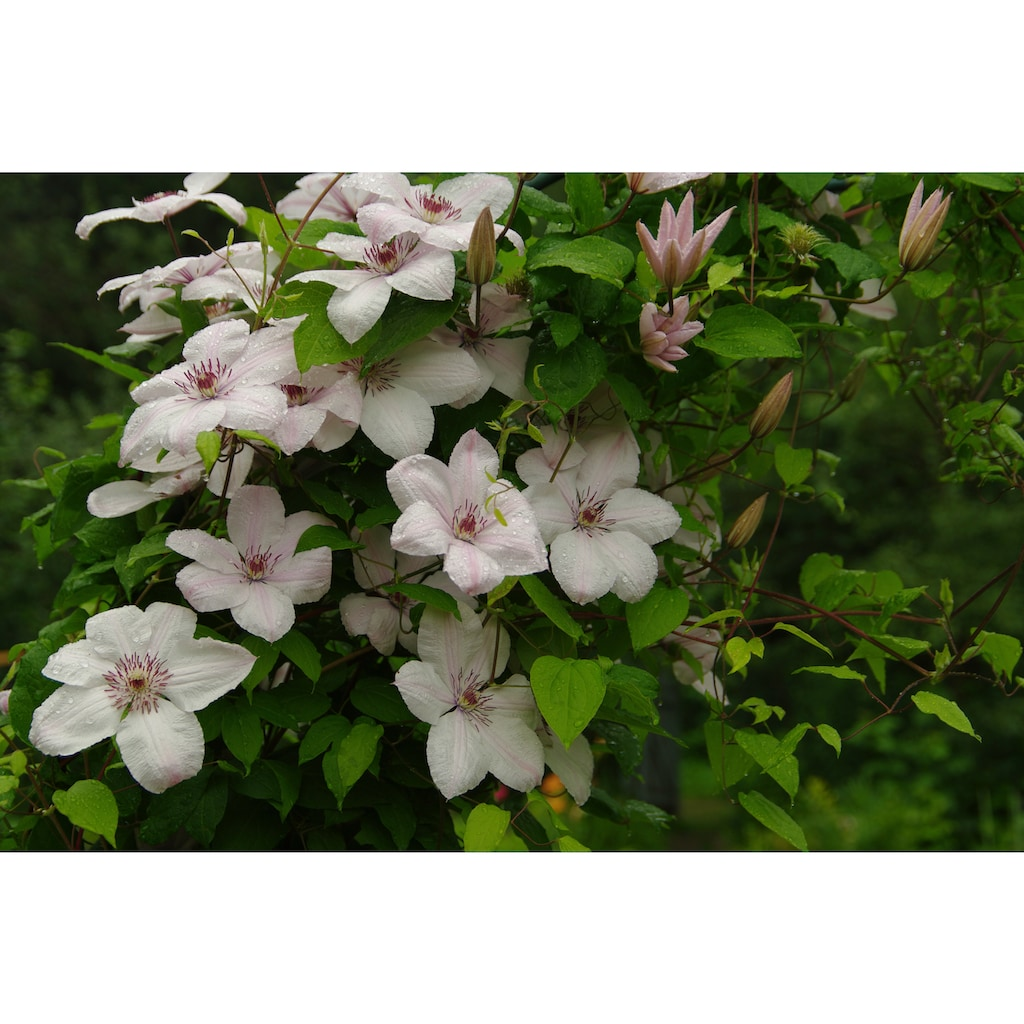 BCM Kletterpflanze »Waldrebe montana 'Fragrant Spring'«, (Spar-Set), Lieferhöhe: ca. 60 cm, 2 Pflanzen