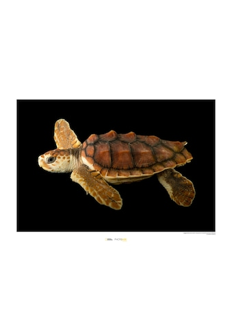 Komar Poster »Loggerhead Sea Turtle«, Tiere, Höhe: 30cm kaufen