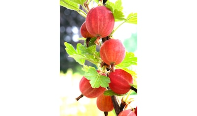 BCM Obstpflanze »Säulenobst Rote Stachelbeere Larell«, Höhe: 50 cm, 1 Pflanze kaufen
