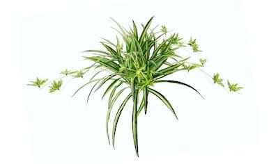 I.GE.A. Kunstpflanze »Wasserlilie« kaufen