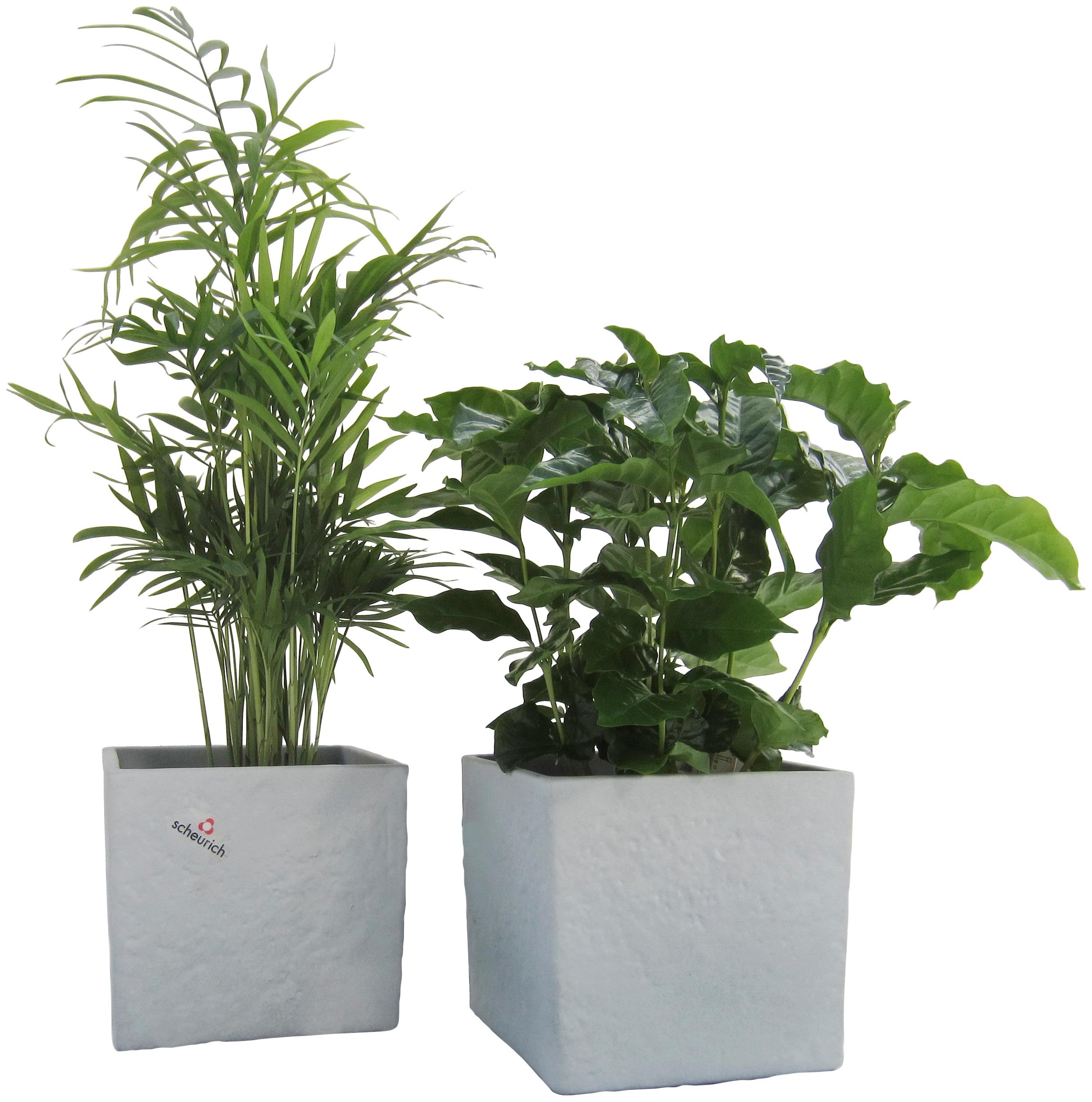 Dominik Zimmerpflanze Palmen-Set, Höhe: 15 cm, 2 Pflanzen in Dekotöpfen grün Zimmerpflanzen Garten Balkon