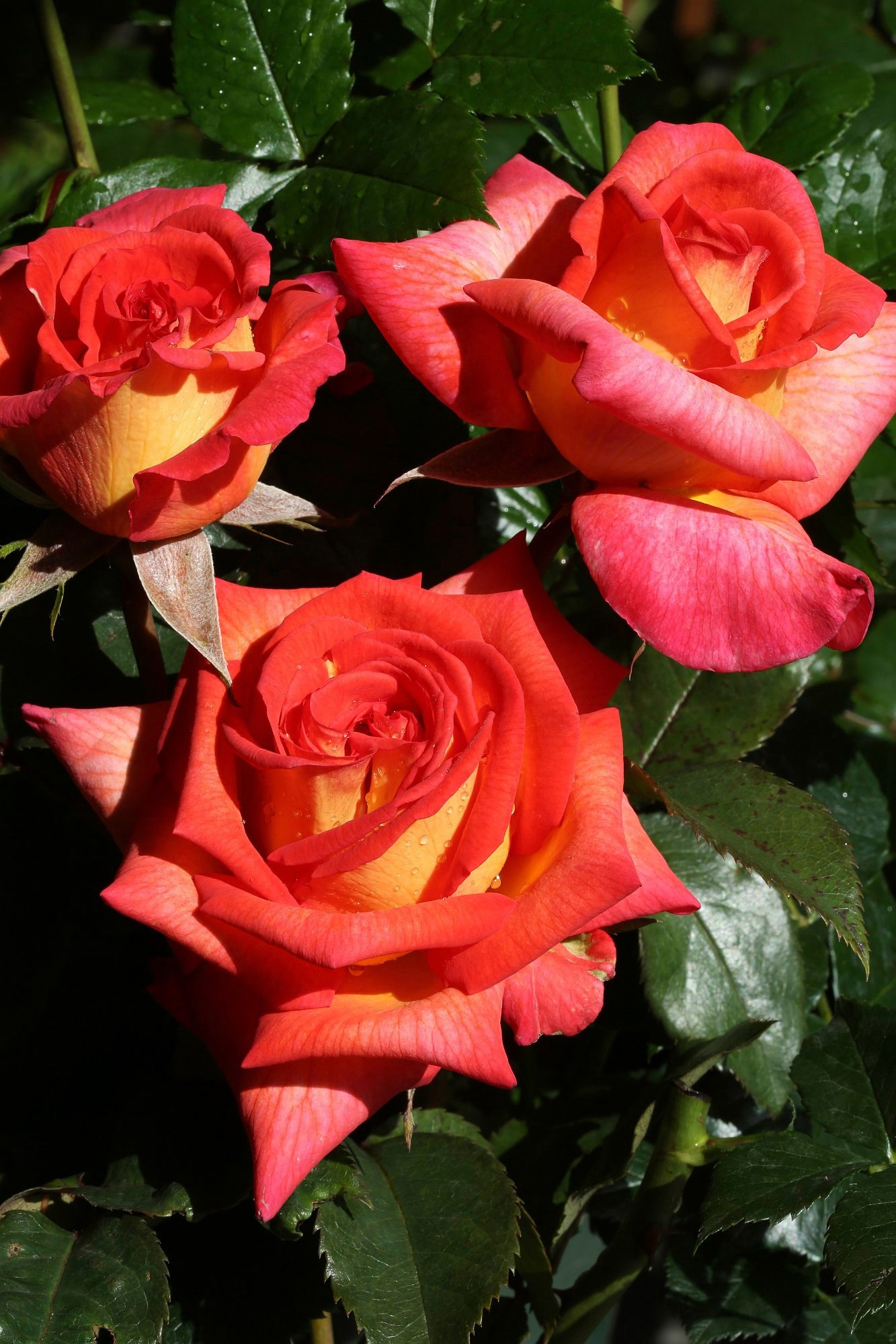 BCM Beetpflanze Rose Parfum De Grasse, Höhe 30 cm, 1 Pflanze orange Beetpflanzen Pflanzen Garten Balkon