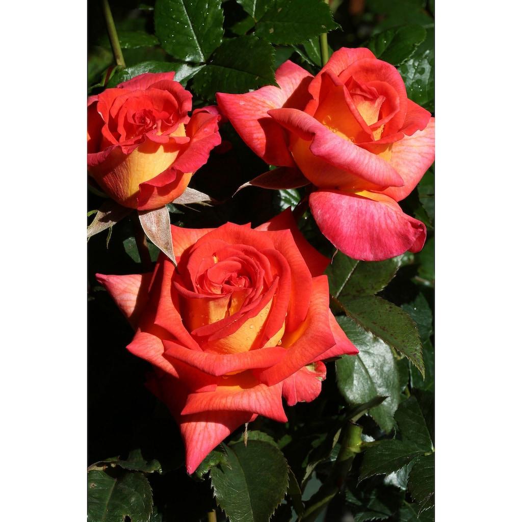 BCM Beetpflanze »Rose Parfum De Grasse«, Höhe 30 cm, 1 Pflanze