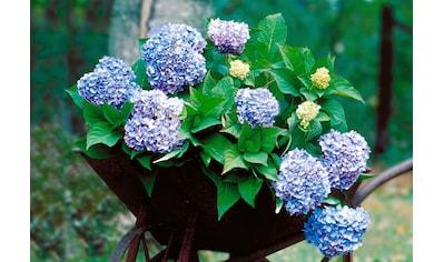 BCM Gehölze »Hortensie Endless Summer®«, blau kaufen