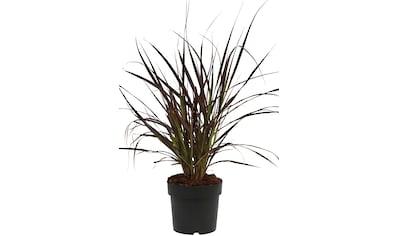 BCM Gräser »Lampenputzergras x advena 'Rubrum'«, Lieferhöhe ca. 40 cm, 1 Pflanze kaufen