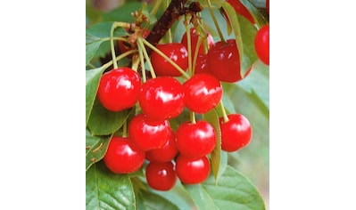 Obstbaum »Süßkirsche Große schwarze Knorpel Kirsche« kaufen