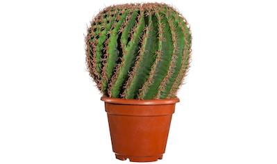 Creativ green Kunstpflanze »Kaktus Echino«, im Kunststofftopf kaufen