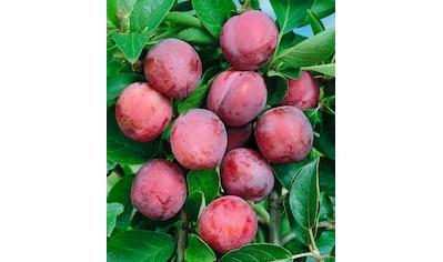 Obstbaum »Pflaume Opal« kaufen
