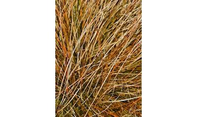 BCM Gräser »Segge brunnea 'Camara' ®«, (Spar-Set), Lieferhöhe: ca. 30 cm, 1 Pflanze kaufen