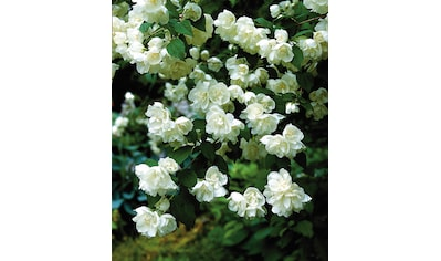 Hecke »Duft Jasmin Karolinka«, Höhe: 30 - 40 cm, 3 Pflanzen kaufen