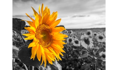 Home affaire Leinwandbild »Sonnenblume« kaufen