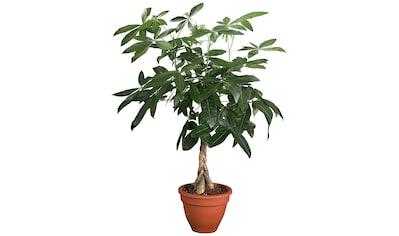DOMINIK Zimmerpflanze »Glückskastanie«, Höhe: 60 cm, 1 Pflanze kaufen
